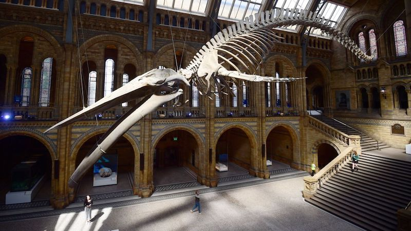 globedge-travel-london-natural-history-museum-blue-whale-3