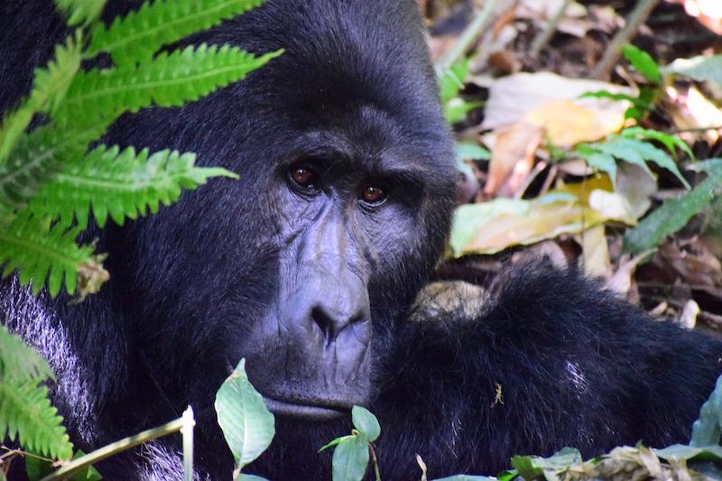 globedge-travel-uganda-bwindi-inpenetrable-national-park-mountain-gorillas